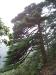 Huangshan pine, Huangshan (Yellow Mountain), Anhui province